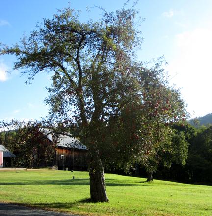 apple treeweb